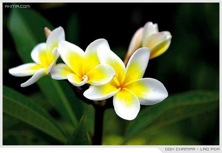 Dok Champa - Lao PDR, ลั่นทม ลีลาวดี ดอกไม้ ประจำชาติ ลาว