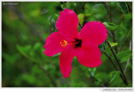 Hibiscus - Malaysia, พู่ระหง ดอกไม้ ประจำชาติ มาเลเซีย