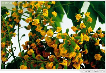 Padauk - Myanmar, ประดู่ ดอกไม้ ประจำชาติ พม่า