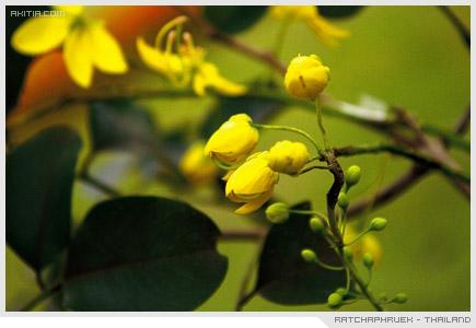 Ratchaphruek - Thailand, ราชพฤกษ์ คูน ดอกไม้ ประจำชาติ ไทย