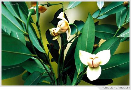 Rumdul - Cambodia, ลำดวน ดอกไม้ ประจำชาติ กัมพูชา